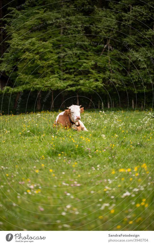 Eine braune weiße Kuh auf einer grünen Wiese Allgäu Mai 2014 Ackerbau Tier biologisch Biologie heimisch Bauernhof Landwirtschaft abgelegt Blumen Wald Gras