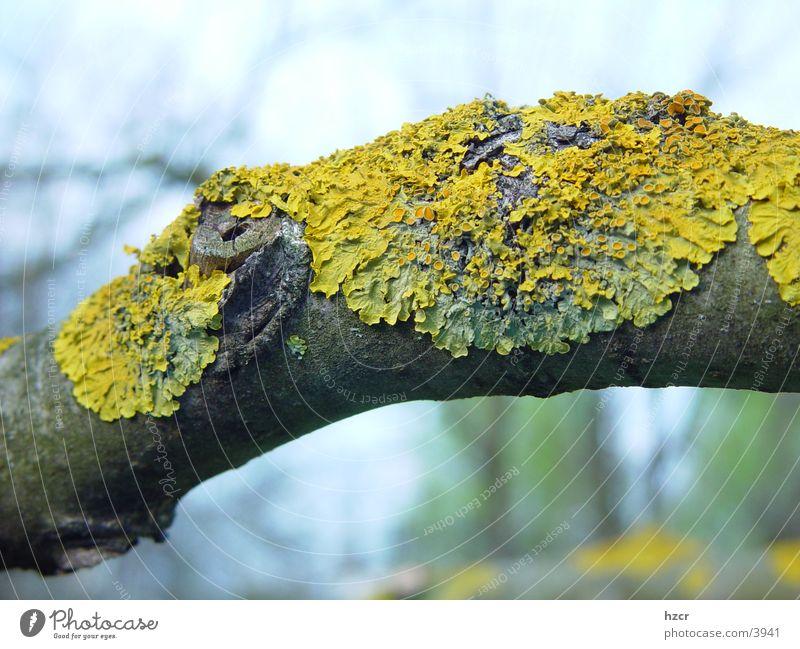 flechte Baum Ast Flechten Echter Walnussbaum