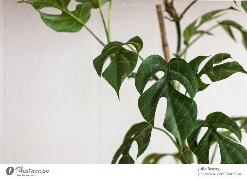Rhaphidophora tetrasperma seltene tropische Pflanze mit gespaltenen Blättern an einem Bambusspalier Fensterblätter Spaltblatt fenestration Löcher grün Natur