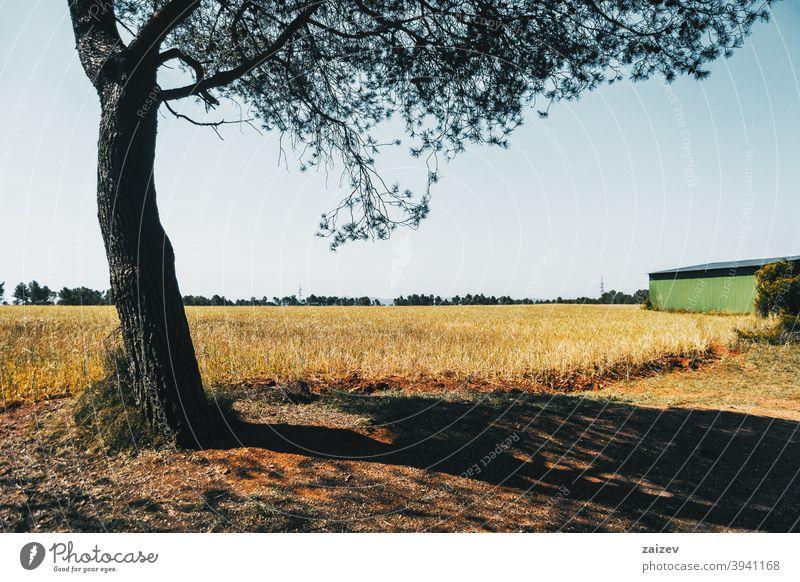 schönes gelbes Feld mit Bäumen horizontal Frieden Ruhe produzieren Wachstum golden wachsen Land Licht außerhalb Farbbild idyllisch panoramisch Weg