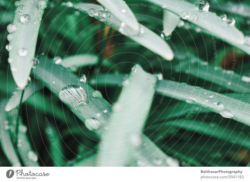 Grashalme - Wassertropfen grün frisch Damp Unschärfe gesättigte Farben Natur Umwelt Detailaufnahme Regen