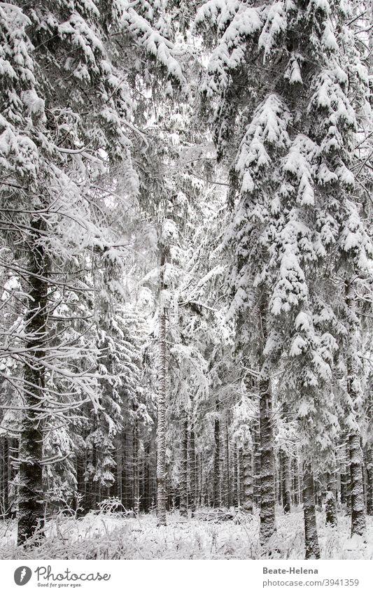 Vorsicht Schneebruchgefahr! Winter Winterwald Winterurlaub Schwarzwald Schneefall Außenaufnahme kalt Wald Winterstimmung weiß Wintertag Frost Landschaft
