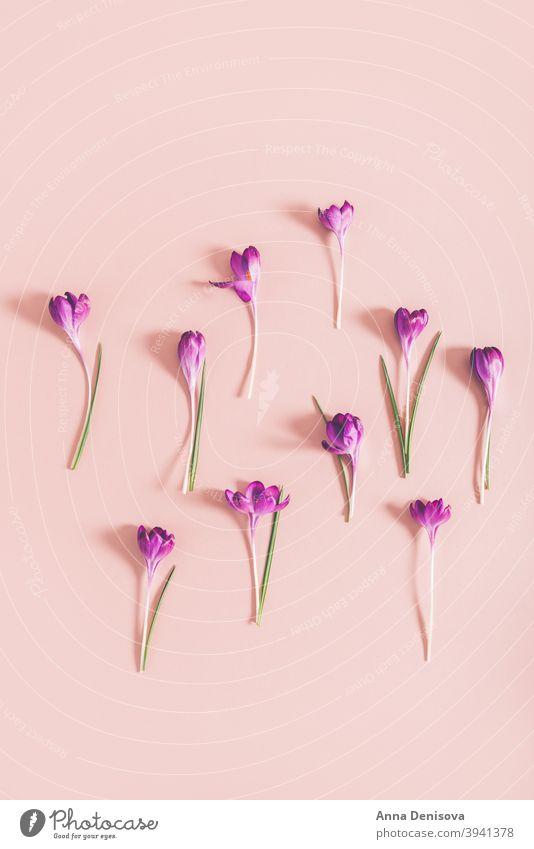 Layout aus Krokusblüten Krokusse März Frühling Blütezeit purpur Blume botanisch Fröhlichkeit April schön Blatt Frühlingskrokus geblümt violett Frühlingsblume