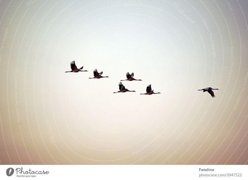 In den Süden ziehen? Nö, hier ist's auch schön. - oder 6 Kraniche fliegen vor einem grauen Himmel. Vogel Tier Farbfoto Außenaufnahme Menschenleer Natur Tag