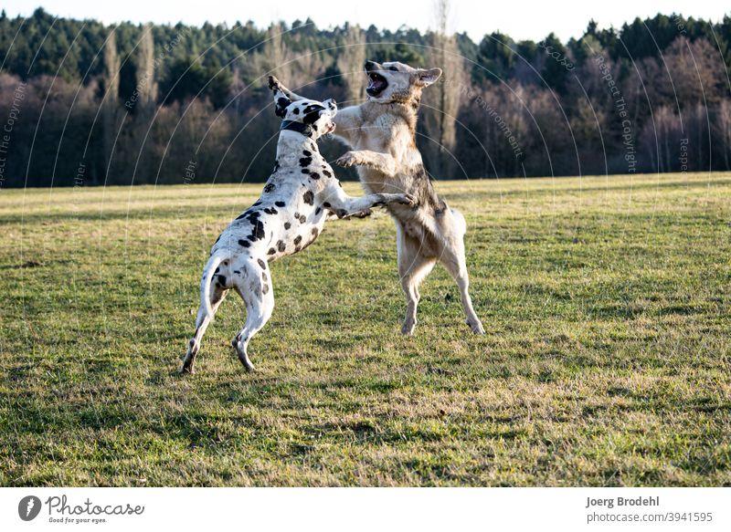 Hunde beim Spielen Dalmatiner Schäferhund Natur Wiese Wald Gras Kampf Kraft springen Outdoor sprung Aggression