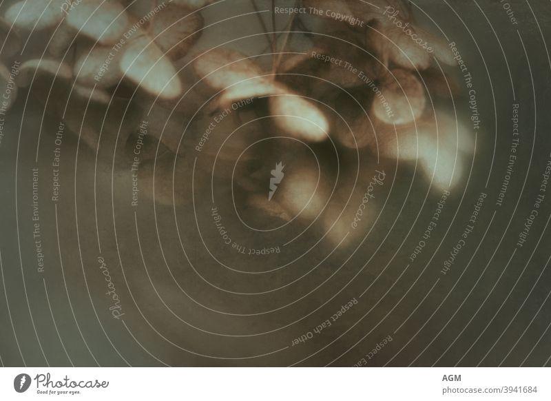verblasste Hortensien Winter abstrakt gealtert Herbst Hintergrund Schönheit Postkarte Nahaufnahme Textfreiraum dunkel tot dekorativ filigran Detailaufnahme