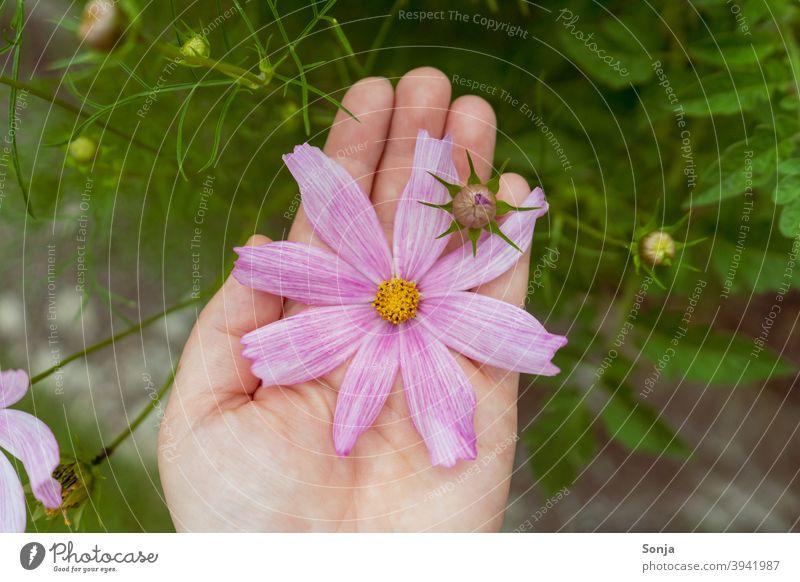 Weibliche Hand hält eine rosa Blüte Blume Pflanze Sommer schön Blühend Außenaufnahme Farbfoto Nahaufnahme Detailaufnahme Natur Garten Blütenblatt Tag natürlich