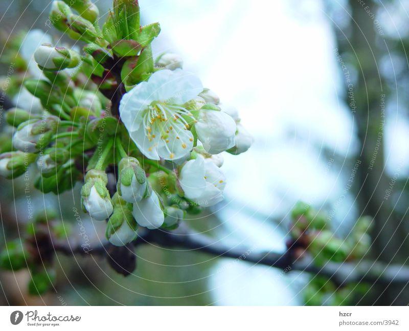 kirsch Blüte Frühling Kirschblüten Kirschbaum