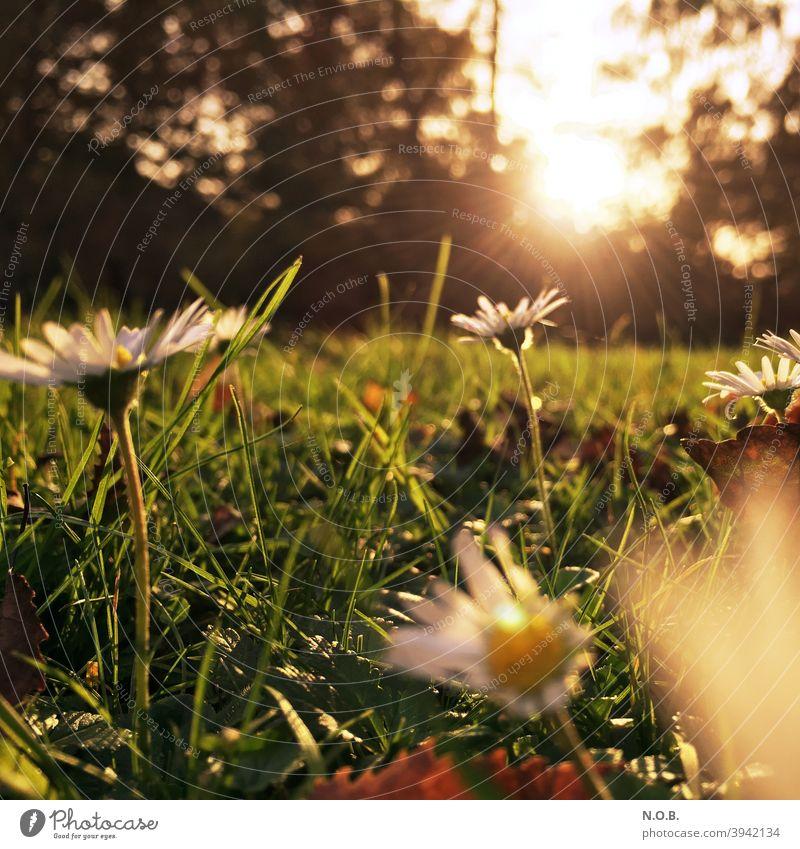 Wiese mit Gänseblümchen im Gegenlicht Gras Sommer grün Blume Pflanze Farbfoto Außenaufnahme Nahaufnahme Schwache Tiefenschärfe Tag Menschenleer Umwelt Blühend