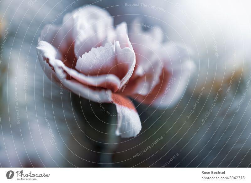 Weissrote Nelke weißrot Blume Blüte Nahaufnahme Natur Dianthus