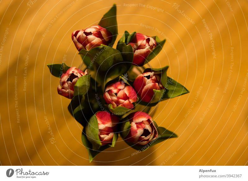 Bienenperspektive Tulpen Tulpenblüte tulpenstrauß Frühling Blühend Blumenstrauß Farbfoto Blüte Innenaufnahme Dekoration & Verzierung Pflanze Blatt Natur