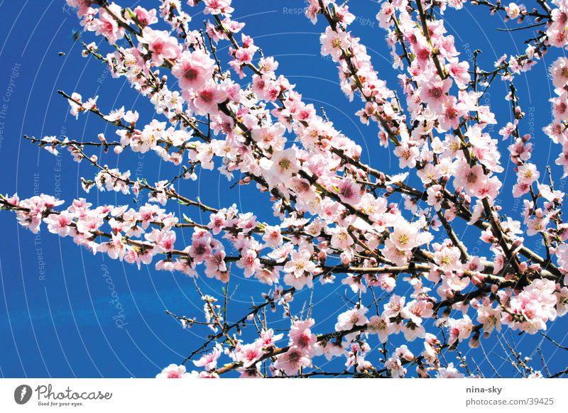 blöömkes Himmel Baum Blume blau Blüte Luft rosa weich Ast Biene