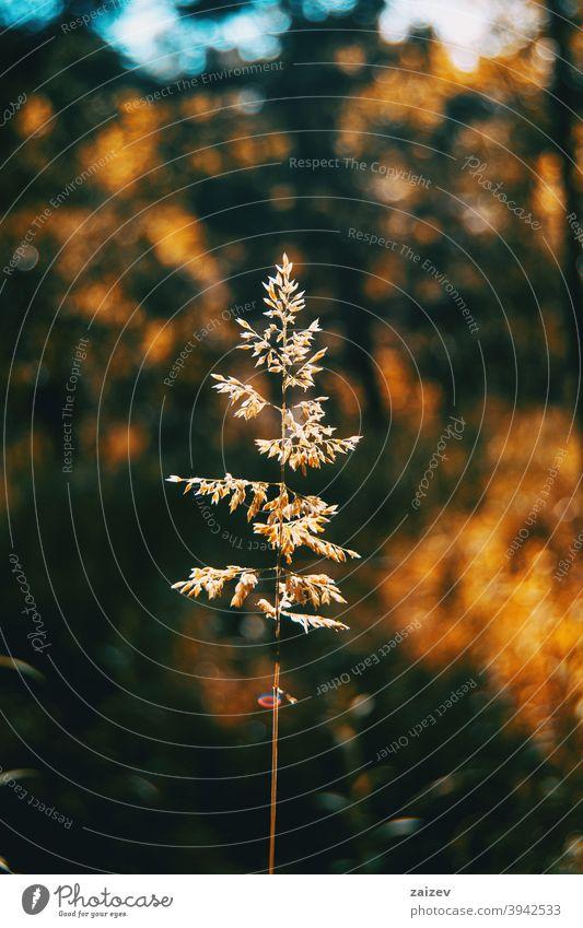 Agrostis-Silhouette vom Sonnenlicht beleuchtet Agrostis stolonifera Pfeifengrasgewächs schleichende Verkrümmung fiorin Spreizkrümmung Teppich-Bentgras Frieden