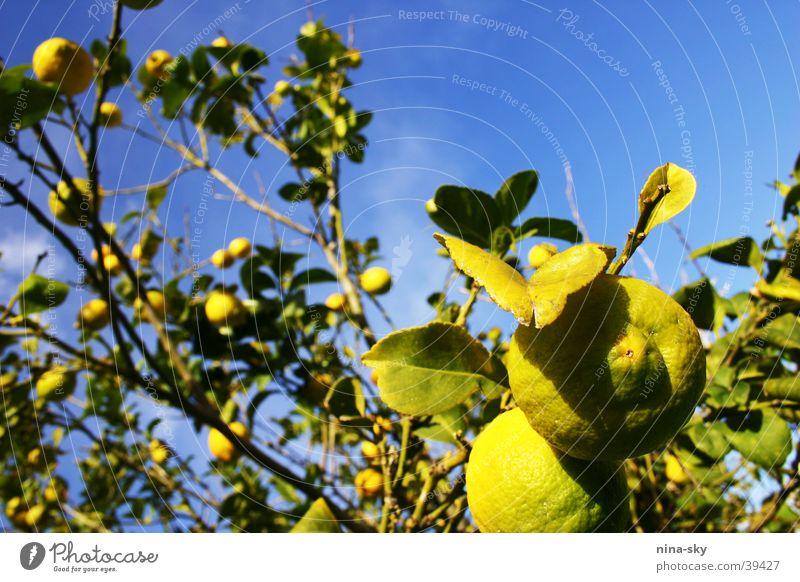 zitronenhimmel Natur Himmel Baum grün blau Blatt Wolken gelb Gesundheit Klarheit Ast Wut Limone Frucht