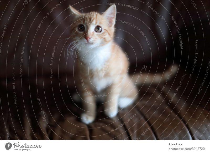 Porträt einer jungen rot getigerten Katze auf der Couch jugendlich Tier Haustier Muster Fell weiß Fleck niedlich klein Katzenbaby katzenhaft wild gucken