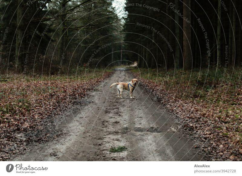 Ein blonder Labrador steht auf einem Waldweg und blickt sich nach seinem Herrchen um Hund Weg stehen warten umsehen herbst Winter Halfter Bäume Idylle laub
