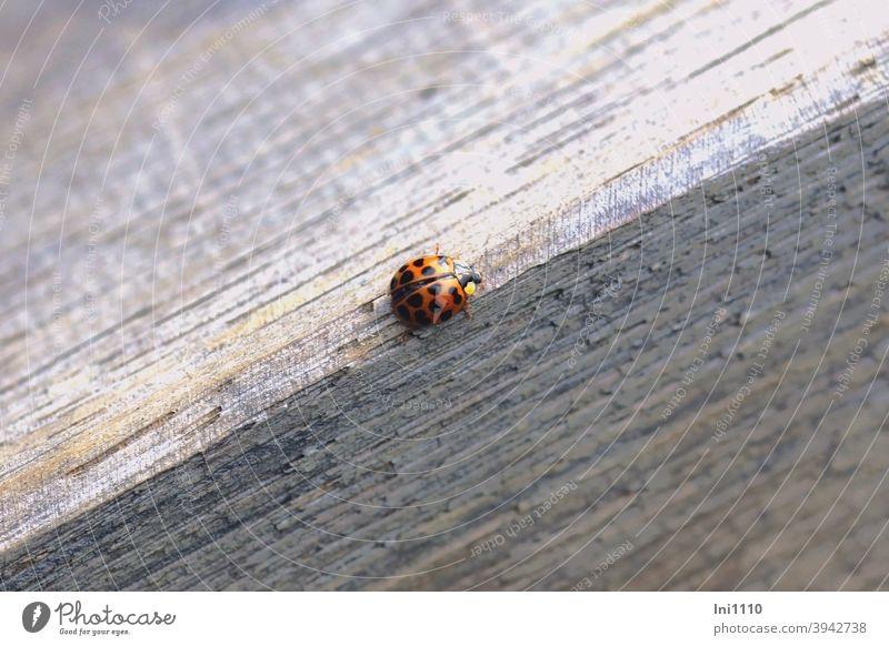 Helgiland II |Asiatischer Marienkäfer Käfer Glücksbringer Harmonia axyridis Nützling Schädling Garten Gewächshaus Blattläuse Halsschild eingeschleppt Tischkante
