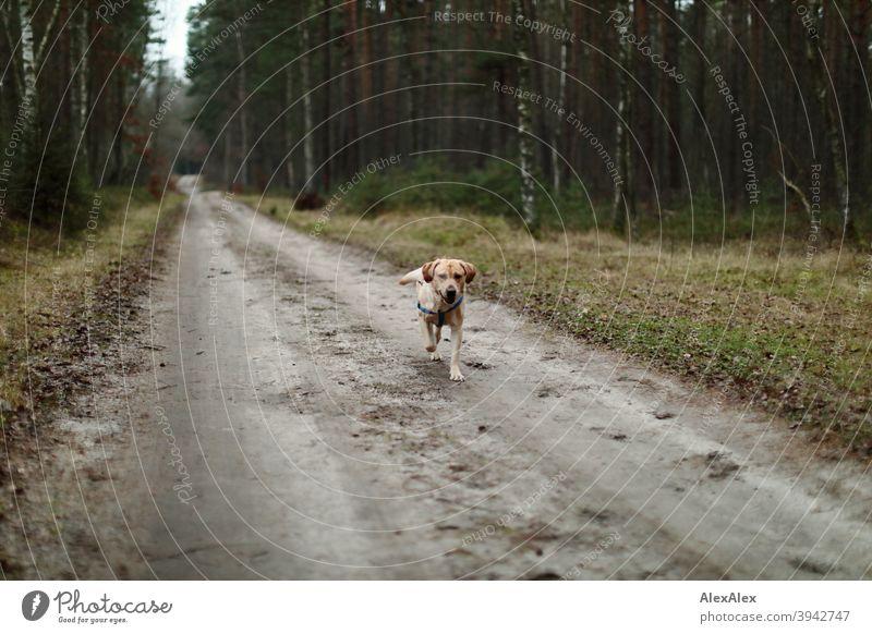 Ein blonder Labrador läuft auf einem Waldweg freudig auf jemanden zu Pfad Hund haustier Laufen Draussen baum Vegetation Bäume Stäucher herbst Winter Sandweg