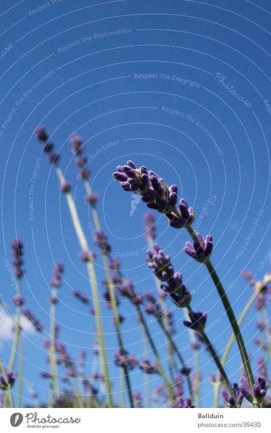Lavendel Halm Blüte violett Sommer Wiese blau Himmel Bewegung Wind Nahaufnahme Natur Blick nach oben Heilpflanzen