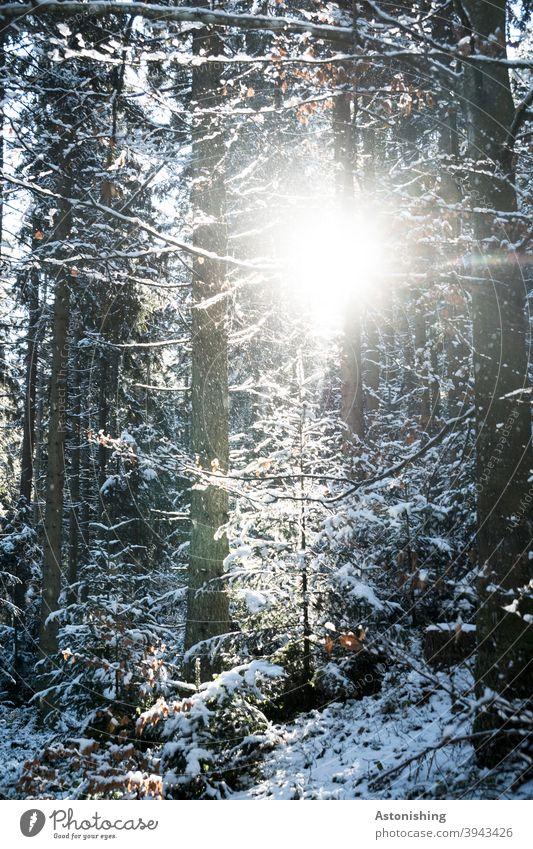 Licht im Winterwald Landschaft Natur Schnee weiß Bäume Wald Wetter Schneeflocken Tannenbaum Baumstämme Rinde kalt Außenaufnahme Frost Umwelt Wintertag