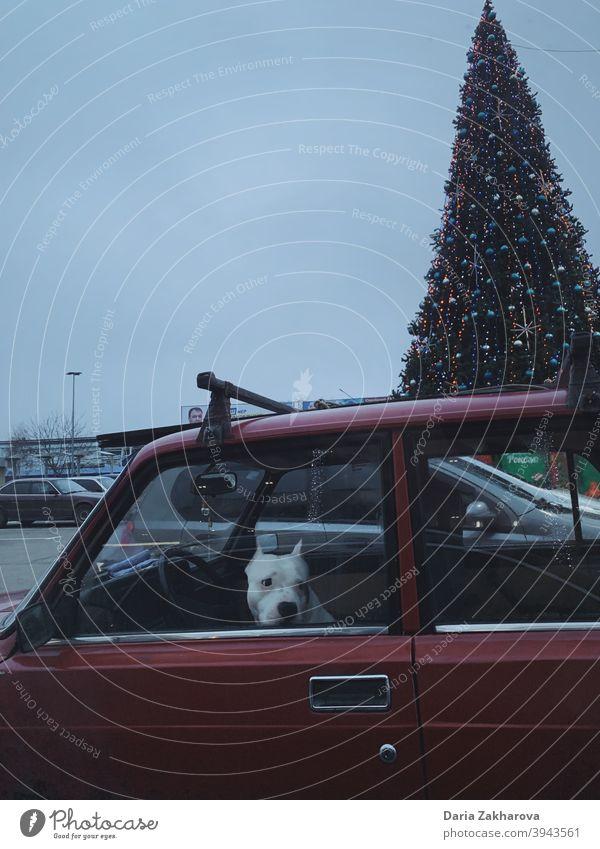 Hund wartet im Auto auf den Fahrer, der sie zur Weihnachtsfeier bringt Haustier PKW fahren Weihnachtsbaum Neujahr weißer Hund rotes Auto parken annehmen