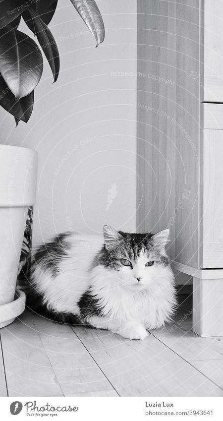 Kater, Langhaarmix liegt zwischen Kommode und Gummibaum, schaut mit unterschiedlich großen Augen in die Kamera Katze Langhaarige Katze langhaarig