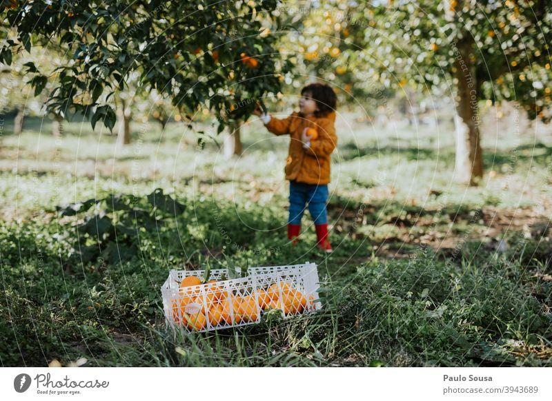 Kind pflückt Orangen vom Baum Kindheit orange Orangensaft Orangenbaum Zitrusfrüchte Bioprodukte Bauernhof Ernährung Lebensmittel Farbfoto Gesunde Ernährung