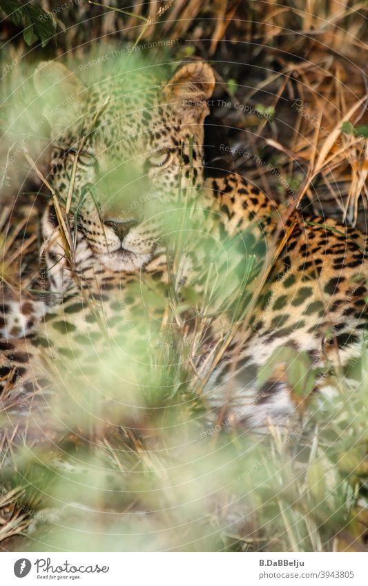Der afrikanische Leopard liegt im dichten Buschwerk verborgen. Was für ein schönes Tier... Afrika Namibia Safari Farbfoto Wildtier Natur Außenaufnahme