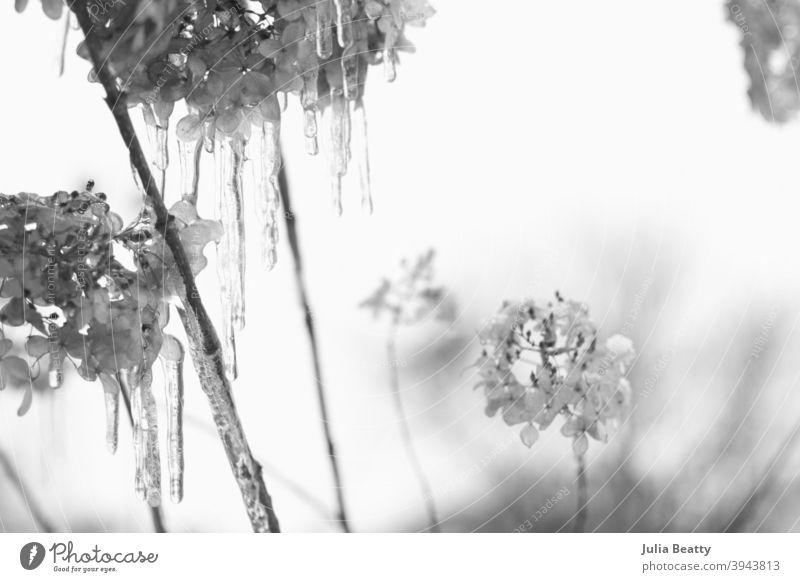 Limelight Hydrangea Pflanzen mit Schnee bedeckt und tropfnassen Eiszapfen; schwarz-weiß Schnee Foto Winter Natur Baum Frost Blume kalt Ast gefroren Himmel
