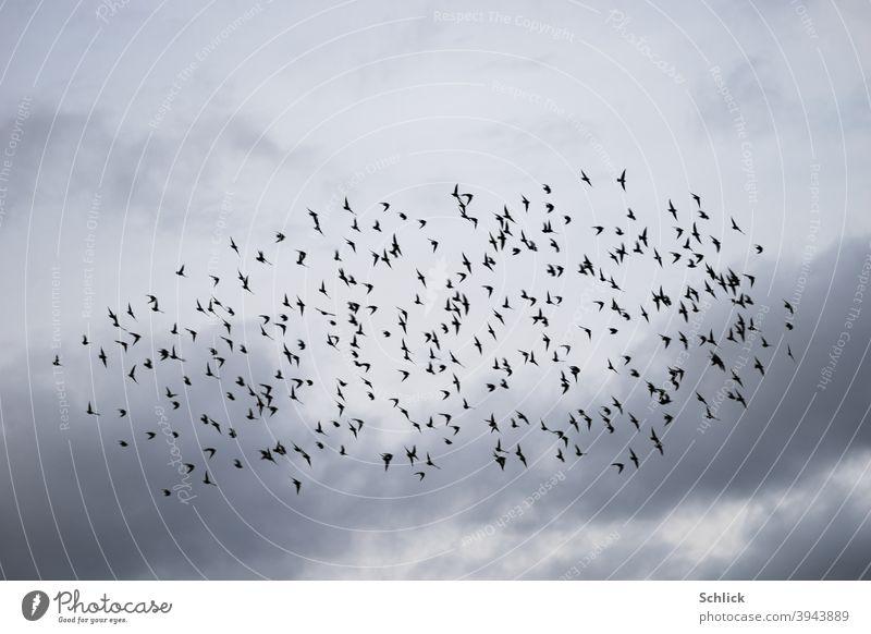Viele Stare im Flug als Schwarm vor bewölktem Himmel Vögel viele Vogelschwarm Wolken Aves fliegen Natur Außenaufnahme Tiergruppe Wildtier Freiheit Menschenleer