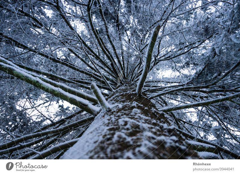 Blick nach oben am Stamm einer schneebedeckten Tanne Winter Schnee Baum Himmel Ast beschützend überkopf Perspektive Schutz Baumstamm Natur Wald Schneelandschaft