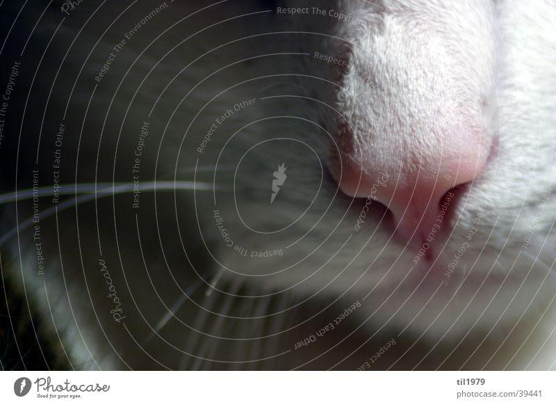 haustiger Katze Schnauze Fell weiß Tier Unschärfe Haare & Frisuren Kontrast