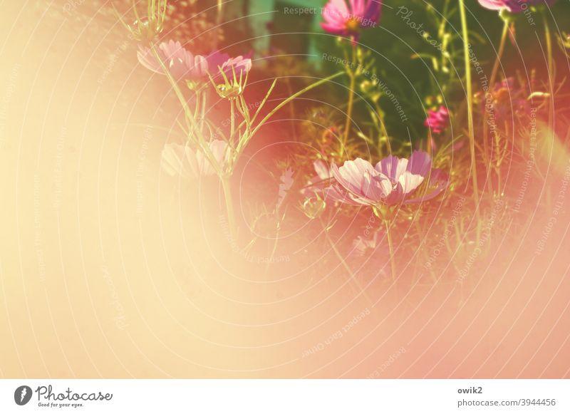 Garten in Schweinchenrosa Idylle Pflanze Morgen natürlich hell Wachstum Nahaufnahme Wiese Grashalme Detailaufnahme Blumenwiese Blüte Frühling Außenaufnahme