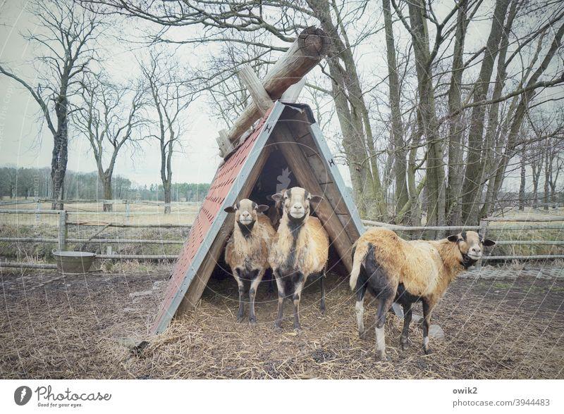 Streichelzoo Tierfamilie Schaf Kamerunschafe 3 Nutztier Wiese Gras Zusammensein stehen Blick achtsam Kontrolle Wachsamkeit Schutz Vorsicht Blick in die Kamera