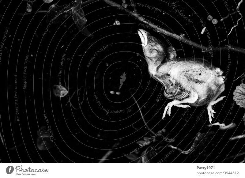 Totes, aus dem Nest gefallenes Spatzküken liegt auf kalter, schwarzer Erde tot Tod Küken Totes Tier Vergänglichkeit Vogel Traurigkeit Trauer 1 Anfang Ende