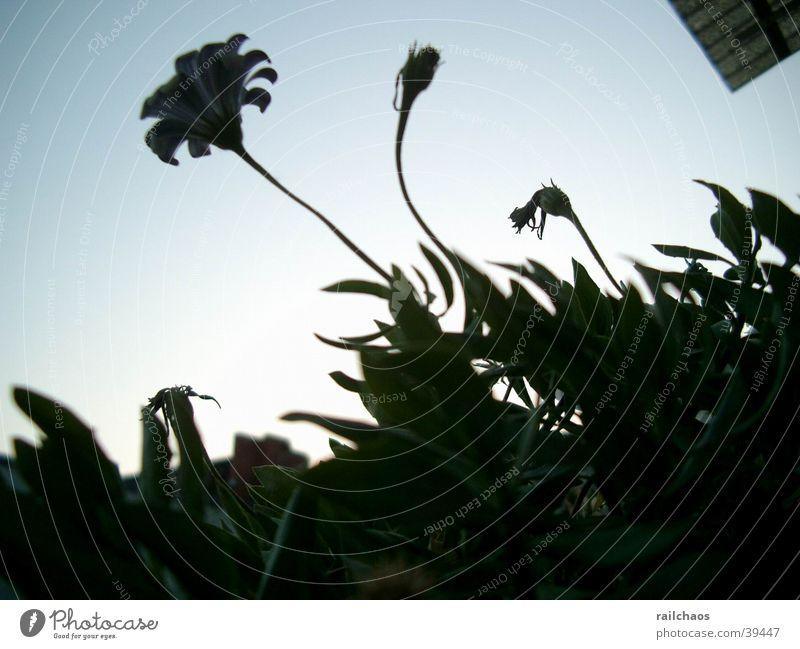 Balkonpflanzen gegen Abendhimmel Himmel Pflanze Sommer Blatt