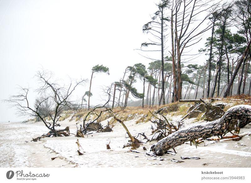 weststrand 1 Darß Winter Ostsee Natur Küste Meer Weststrand Baum Windflüchter Schnee Wald Strand