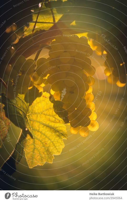 Weintraube im Gegenlicht Weintrauben Weinbau Weinberg grün Pflanze Landwirtschaft Natur Nahaufnahme Weinstock Außenaufnahme Weingut Herbst Landschaft Frucht