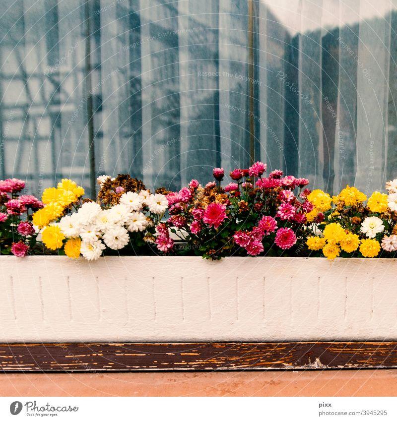 Pflegebedarf am Fenster Fensterscheibe gelb magenta weiß rot Blumenkasten Fachwerkhaus Spiegelung Gardinen Vorhang Nelkengewächse Blümchen Faltenwurf Holz Brett