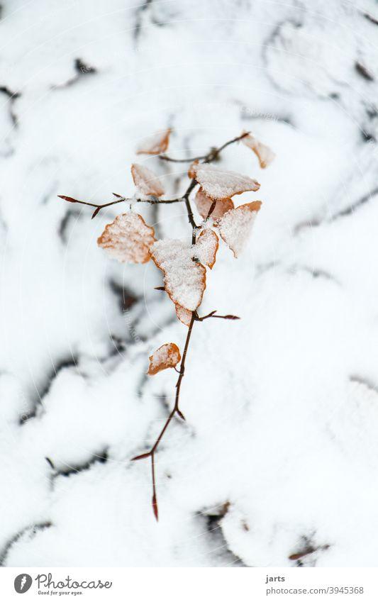 im schnee Schnee Winter Ast Blatt Blätter Buche wachsen Stillstand Ruhe leise Baum Natur Wald Pflanze Umwelt Außenaufnahme