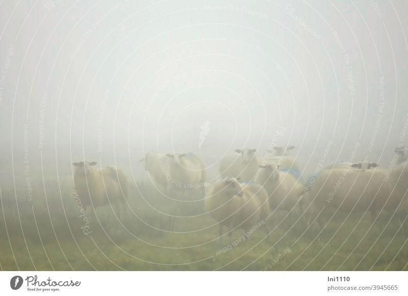 Helgiland II | Schafe im Morgennebel Herbst Nebel Moor Schafherde Wiese neugierig schauen diesig nebelig markiert Stimmung Schafwolle Nutztiere Herde