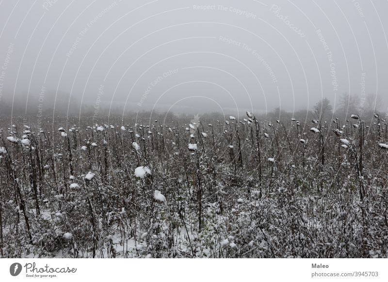 Erster Schnee auf einem Feld mit Sonnenblumen ice frost cold winter landscape abstract autumn background beautiful beauty bright brown clouds color colorful