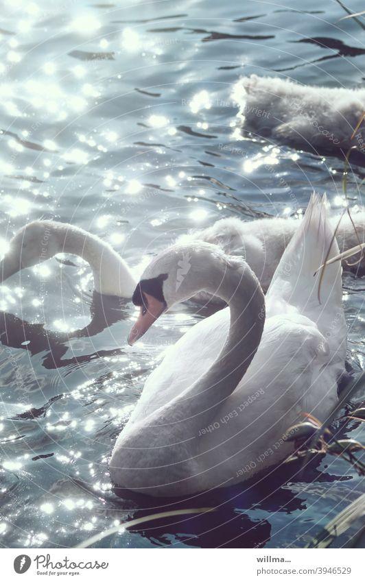 Schwanensee weiß Wasser See glitzern Sonnenlichtreflektion anmutig schön Ästhetik Schwanjunge elegant Höckerschwan reflektierend Anmut Schwanenhals Jungtiere