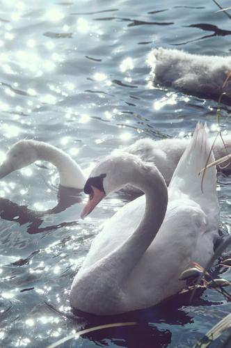 Schwanensee weiß Wasser See glitzern Sonnenlichtreflektion anmutig schön Ästhetik Schwanjunge elegant Höckerschwan Wasservogel reflektierend Anmut Schwanenhals