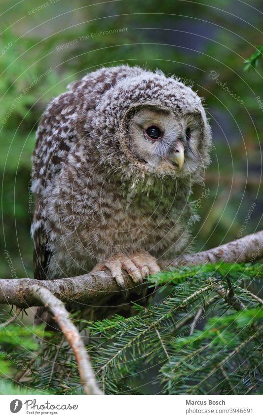 Habichtskauz - Jungvogel, Strix uralensis, Ural owl - squab Baum Bayerischer Eule Eulen Eulenvogel Greifvoegel Greifvogel Kauz Nationalpark Raubvoegel