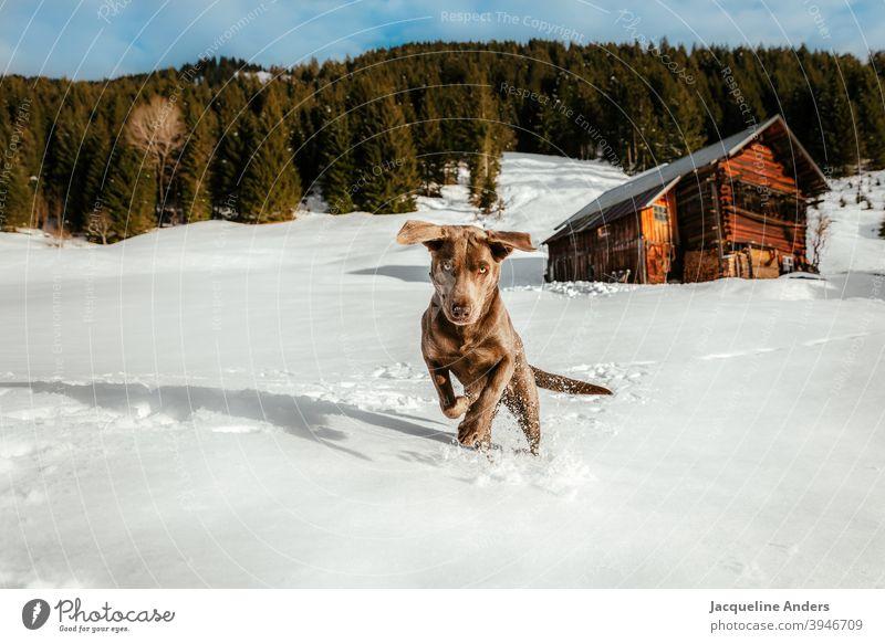 ein Labrador Hund hat Spaß im Schnee Labrador Retriever Ohren Tier Haustier Tierporträt Außenaufnahme Freude braun Menschenleer Natur Glück Textfreiraum links
