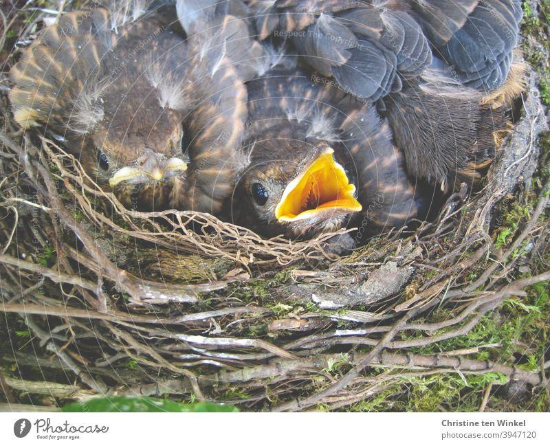 Vier kleine Amseln in ihrem Nest. Sie liegen eng aneinander gekuschelt, man sieht zwei Köpfchen, ein Junges hat den Schnabel geöffnet. Amselnachwuchs Jungvögel