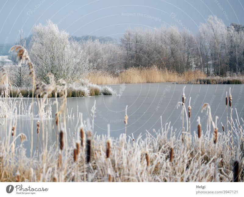 Winter am Teich - zugefrorener Teich, mit Raureif bedeckte Pflanzen und Sträucher am Ufer See Seeufer Rohrkolben Schilf Strauch Baum Kälte Frost winterlich