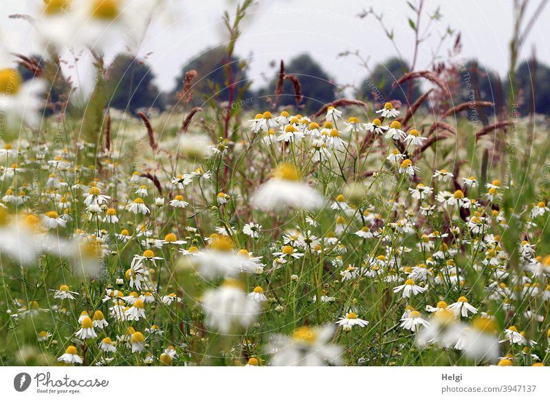 Sommerblumenwiese mit Kamille und Gräsern, im Hintergrund Bäume und grauer Himmel Blume Blumenwiese Blüten Wiese Wildblumen Landschaft Natur Umwelt