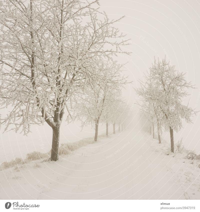 Nebel liegt über der verschneiten, ländlichen Allee /  Schnee / Landstraße Bäume kalt Straße Stille nebelig gerade Straßenverhältnisse Wege & Pfade Verkehrswege